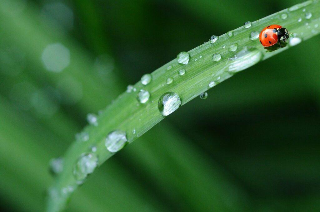 Ladybug on raindrop leaf