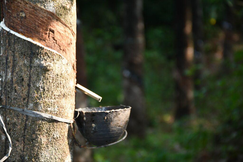 Natural liquid latex coming from tree