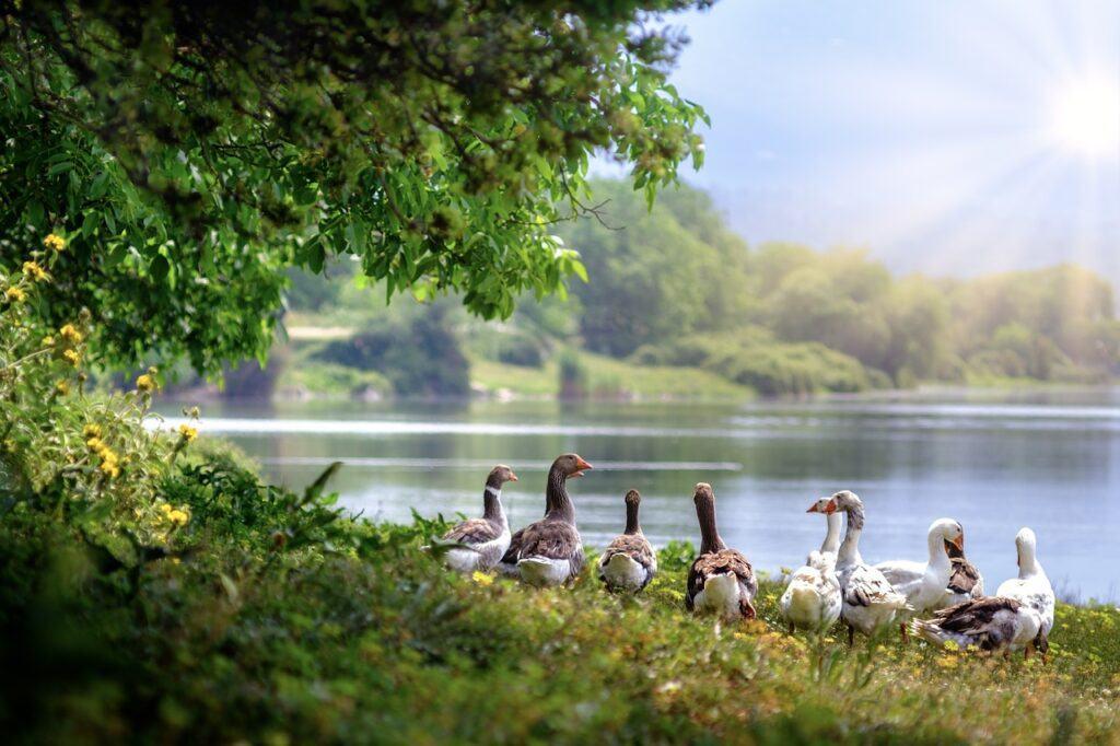 Ducks near a lake
