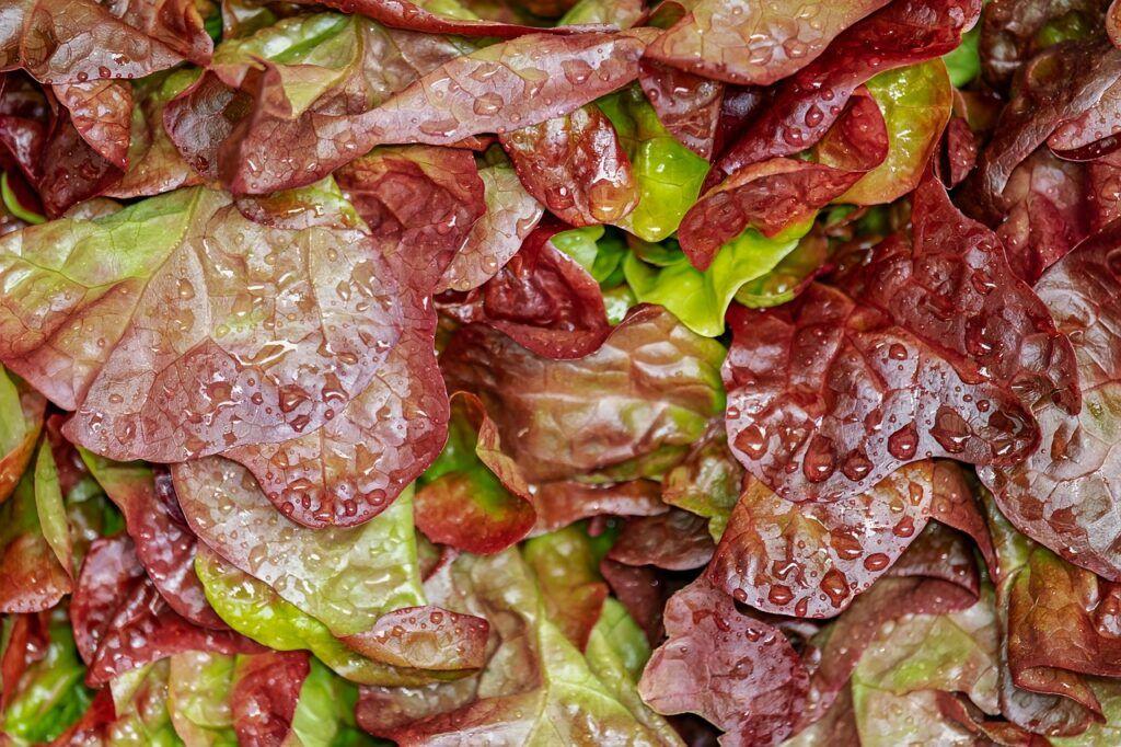 Water drops on leaf salad
