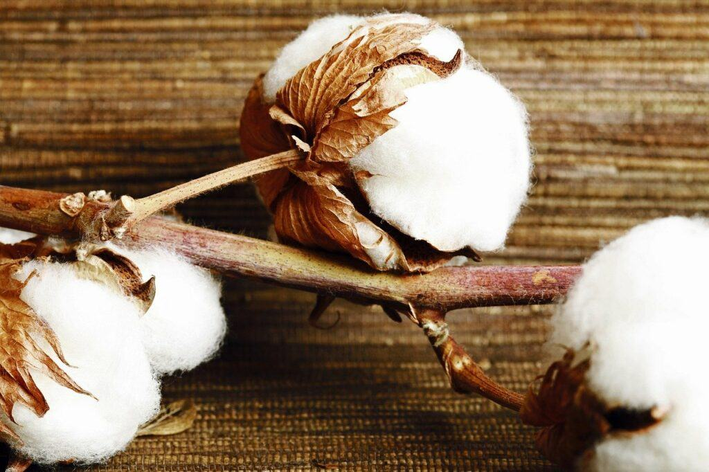 Ends of cotton plant heads