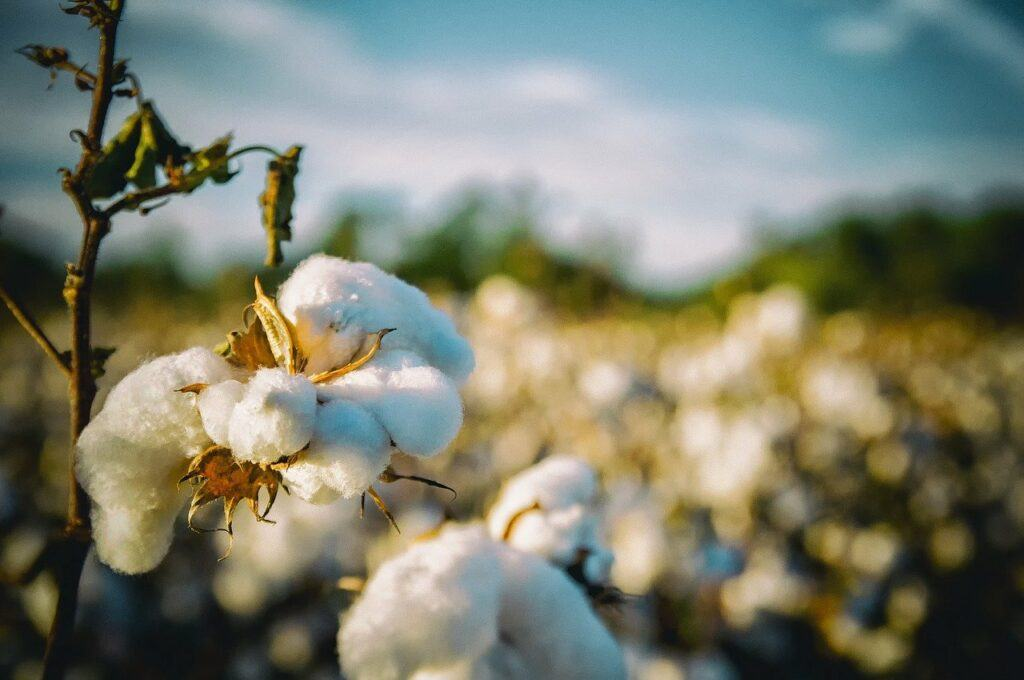 Close up of cotton plants with faded background of field