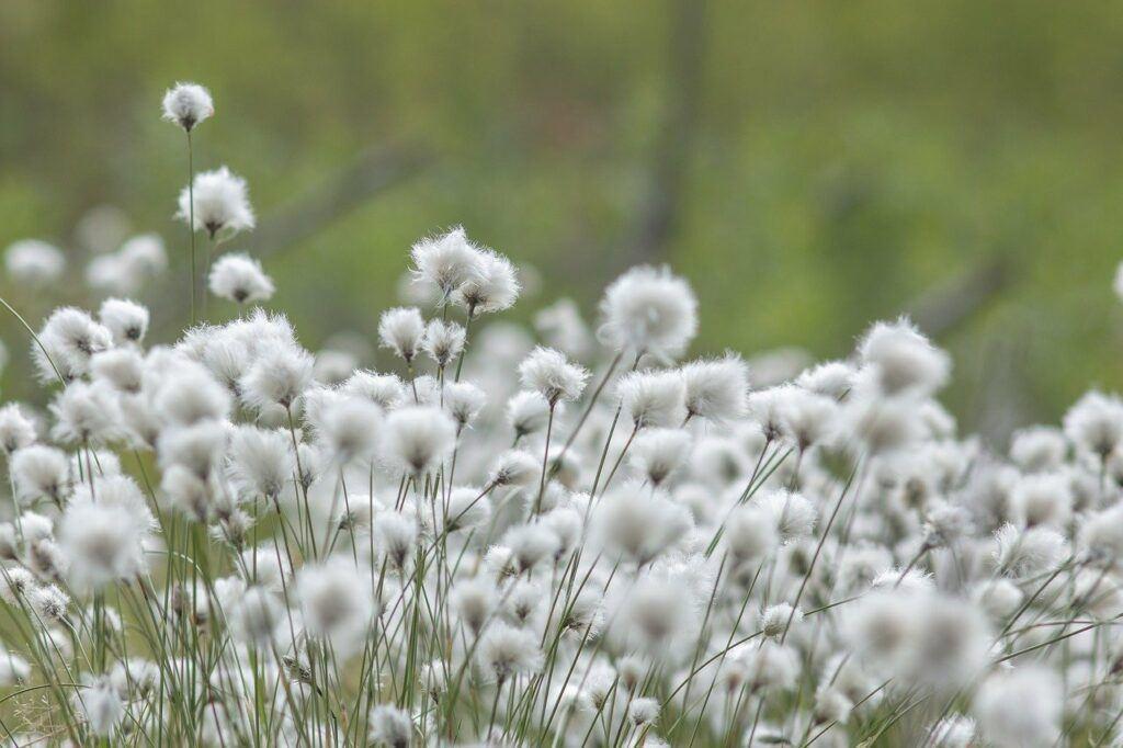 Multiple cotton plants in field