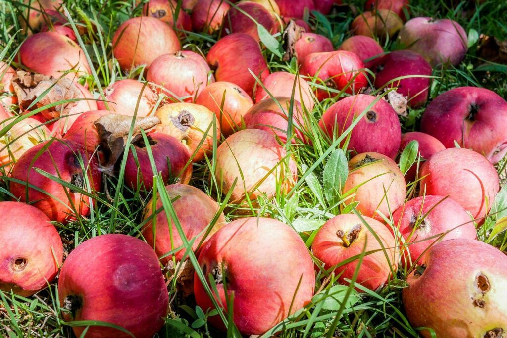 Rotting apples on grass